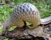 English Documentary on Pangolins with flashcards and podcast to improve listening and reading for IELTS