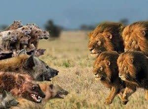 Lion vs. Hyenas - English Documentary